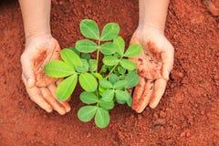 Mani della plantula proteggente della gente su suolo rosso Ecologia e Fotografia Stock