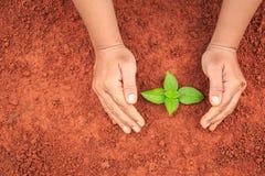 Mani della plantula proteggente della gente su suolo rosso Ecologia e Immagine Stock