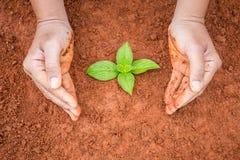 Mani della plantula proteggente della gente su suolo rosso Ecologia e Fotografie Stock Libere da Diritti