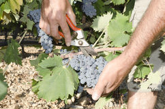 Mani della raccoglitrice dell'uva Fotografie Stock