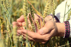 Mani delle orecchie dell'agricoltore di un grano della tenuta nel campo Fotografie Stock Libere da Diritti