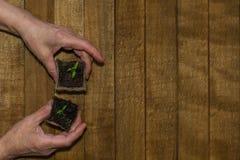 Mani di un adulto con un germoglio in un vaso della torba su un fondo di legno fotografie stock libere da diritti