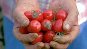 Mani di una donna anziana che tiene Cherry Tomatoes Close-Up rosso maturo video d archivio
