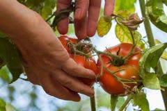 Mani di una donna anziana che tiene i pomodori nostrani rossi che crescono in un orto il giorno soleggiato Fotografie Stock Libere da Diritti