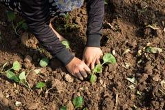 Mani di una donna che pianta verdura in giardino, movimento di piantatura della mano immagini stock