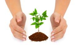 Mani e pianta Immagini Stock