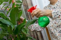 Mani femminili anziane che spruzzano una pianta con acqua pura da una bottiglia Fotografie Stock