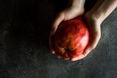 Mani femminili che tengono il pomodoro di cimelio del cuore del toro organico eccellente Fotografie Stock