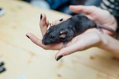 Mani femminili con il ratto riccio divertente sveglio del cucciolo su fondo di legno vago, primo piano Animali a casa fotografia stock