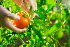 Mani femminili del primo piano di un agricoltore che strappa un pomodoro maturo da un cespuglio su un campo Fotografie Stock