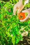 Mani femminili del primo piano di un agricoltore che strappa un pomodoro maturo da un cespuglio su un campo Fotografie Stock Libere da Diritti