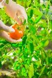 Mani femminili del primo piano di un agricoltore che strappa un pomodoro maturo da un cespuglio su un campo Fotografia Stock Libera da Diritti