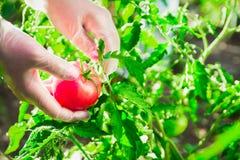 Mani femminili del primo piano di un agricoltore che strappa un pomodoro maturo da un cespuglio su un campo Fotografia Stock