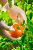 Mani femminili del primo piano di un agricoltore che strappa un pomodoro maturo da un cespuglio su un campo Immagini Stock Libere da Diritti