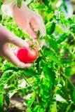 Mani femminili del primo piano di un agricoltore che strappa un pomodoro maturo da un cespuglio su un campo Immagine Stock Libera da Diritti