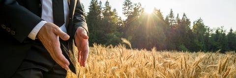 Mani maschii che fanno gesto protettivo intorno ad un orecchio dorato del grano fotografia stock libera da diritti