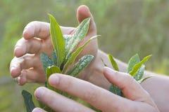 Mani maschii che proteggono una pianta fotografie stock