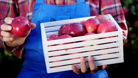 Mani maschii che tengono una scatola di legno con le mele organiche mature appena raccolte alla luce del sole, sull'azienda agric stock footage
