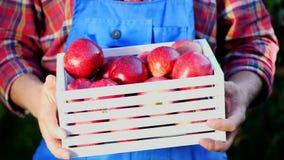 Mani maschii che tengono una scatola di legno con le mele organiche mature appena raccolte alla luce del sole, sull'azienda agric video d archivio