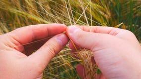 Mani maschii nel campo dell'orzo Granulo nelle mani L'uomo passa il grano dell'orzo della tenuta Controllo dell'agricoltore la qu stock footage