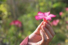 Mani umane che tengono piccolo concetto rosa di vita del fiore Immagine Stock