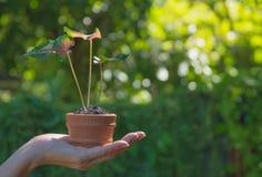 Mani umane che tengono piccolo concetto verde di flora Immagine Stock Libera da Diritti