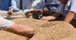 Mani umane nel mucchio del grano del grano Immagine Stock Libera da Diritti