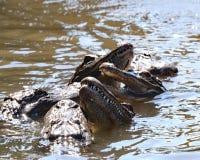 Mania furiosa d'alimentazione dell'alligatore a Gatorland Fotografie Stock