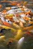 Mania furiosa d'alimentazione di Koi (2) Fotografia Stock Libera da Diritti
