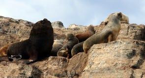 Manica del cane da lepre, isola dei leoni marini Immagini Stock Libere da Diritti