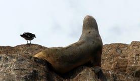 Manica del cane da lepre, isola dei leoni marini Fotografia Stock
