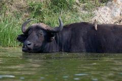 Manica Uganda di Kazinga - Buffalo ed uccello Immagine Stock Libera da Diritti