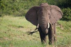 Manica Uganda - elefante di Kazinga Immagine Stock Libera da Diritti