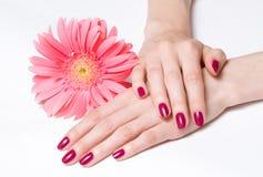 Manicura brillante y margarita rosada Imagenes de archivo