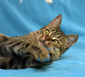 Manicure for cats Royalty Free Stock Images