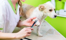 Manicure for dog in pet grooming salon. Pedicure for little dog in pet grooming parlor, woman is cutting his paws royalty free stock photography