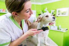 Manicure for dog in pet grooming salon. Pedicure for little dog in pet grooming parlor, woman is cutting his paws gently royalty free stock photography