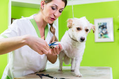 Manicure for dog in pet grooming salon. Pedicure for little dog in pet grooming parlor, woman is cutting his paws stock image