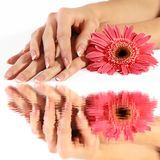 Manicure francese con il fiore nella riflessione Fotografia Stock