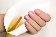 Manicure with gel coating . Manicure with gel coating on the young female hand with flower Koala Stock Image