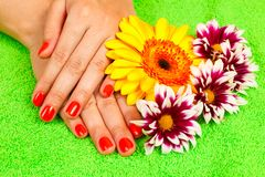 Manicure hands gerbera Stock Photo