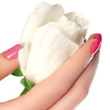 Manicure, hands & spa. Beautiful woman hands, soft skin, beautiful nails with white rose flower. Healthy woman hands. Beauty royalty free stock photo