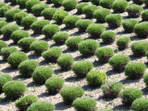Manicured bushes in rows. Manicured round bushes in parallel rows Royalty Free Stock Photography