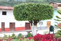 Manicured fikusträd i Plaza i Peru Royaltyfri Bild