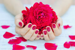Manicured fingernails and flowers. Cupped hands with pink manicured fingernails holding delicate roses Stock Images