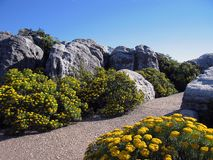 Manicured garden. On Table Mountain showing natural Fynbos (regional plant-type royalty free stock photo