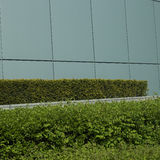 Manicured green hedge. Growing next to a modern wall Stock Photos