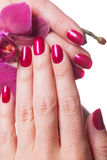 Manicured nails painted a deep red. Caress dark pink flower pedals against white background royalty free stock photography