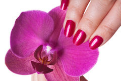 Manicured nails painted a deep red. Caress dark pink flower pedals against white background royalty free stock image