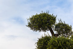 Manicured tree Royalty Free Stock Images